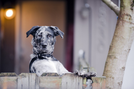jumping fence: Perro manchado simple patio protege activamente su territorio y el hogar de los propietarios de los intrusos y ladrones como un verdadero perro guardián pedigrí apoyado en una valla forepawsMan caminando con perros pequeños peludos Foto de archivo