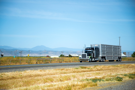 An attractive black stylish big rig semi truck with high tailpipes and a large aluminum trailer with sectional cages for transport animal moves along the road amid the yellowed grass fields