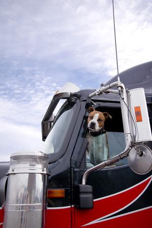 O cão bulldog de luta manchada parece inteligente em seus olhos com um olhar de avaliação da janela do motorista de um caminhão semi profissional de grande equipamento, avaliando o perigo potencial ou a amizade das pessoas que se aproximam