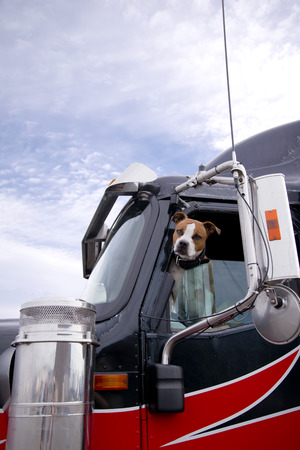 The spotted fighting bulldog dog looks smart in you eyes with an appraising look from the driver's window of a professional big rig semi truck appraising the potential danger or friendliness of approaching people Foto de archivo