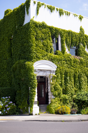A two-story white building in colonial style with a portico and collars embroidered with thick green ivy is an amazing symboise of nature and the creations of human hands.