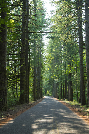 The landscape of the forest with a winding road and slender trunks of trees, crowned with green foliage and lit by sunlight invites tourists to stroll and inhale the scent of fresh nature Imagens