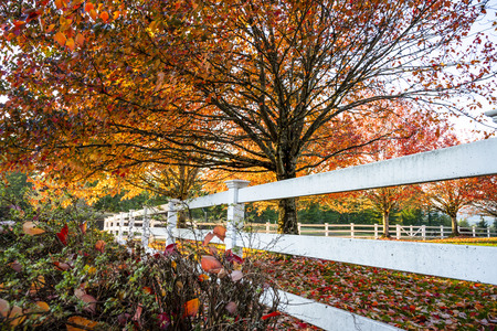 The glade with grass is lit by the sun and framed by an alley of red autumn maples, the leaves of which slowly fall, covering the grass. The estate is enclosed by a white wooden fence. Banco de Imagens