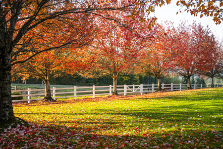 The glade with lush green grass is lit by the sun and framed by an alley of red autumn maples, the leaves of which slowly fall, covering the grass. The estate is enclosed by a white wooden fence.