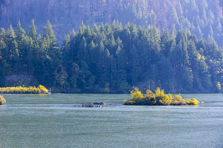 A small island with wild birds and an island with autumn trees in the middle of the Columbia River with mountain cliffs overgrown with fir trees in Columbia River Gorge