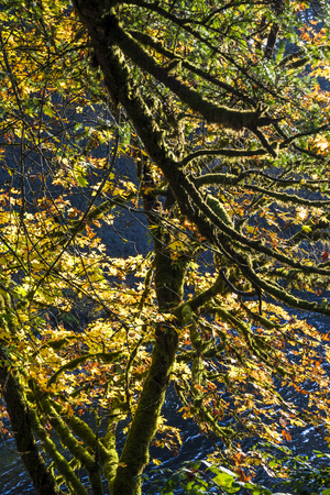 A branchy tree, whose branches are overgrown with moss, with yellowed autumn leaves burning in the sun, leaned over the water of a mountain river