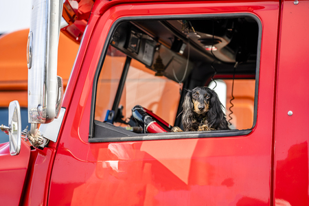 In the window of a professional semi truck a handsome venerable martial spotted Cocker Spaniel dog peeks out - a real helper, friend and protector on the road during the voyages Stock fotó