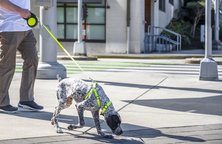 The owner runs his dog on a automatically lengthened leash - a hunting spotted short-haired Labrador, who sniffs out dog information and possible left traces of the hunted game in sunny day