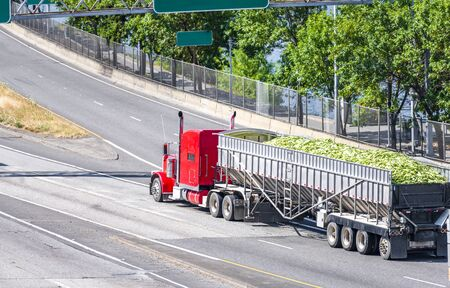 Big rig American classic red powerful semi truck with tall exhaust pipes transporting harvest of corncobs in bulk semi trailer driving on the highway road with intersection Banque d'images - 128422731