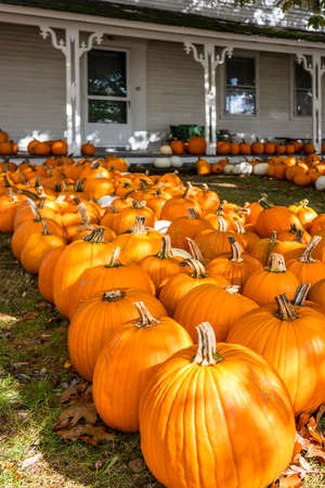 Ripe pumpkins are collected on the field and laid out in rows in the courtyard of an old house in anticipation of an autumn buyer who knows a lot about the wonderful healing properties of pumpkins