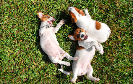 playing: Cute puppies playing outdoors Stock Photo