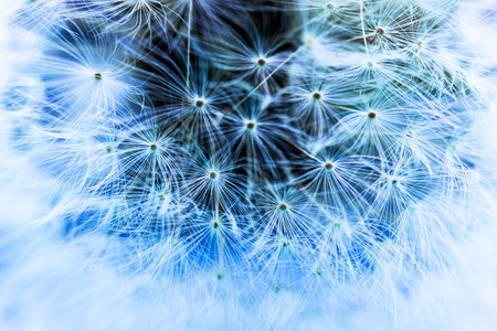 blue dandelion: abstract blue dandelion background in soft focus