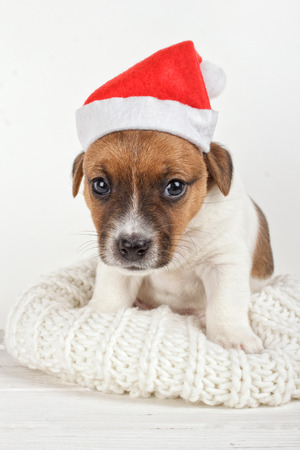 Small Dog Wearing Santa Hat. Cute Sad Puppy Sitting on Soft Knitted Fabric. Animals on New Year Holiday Time. Like a Human. Newborn Little Pet Sitting and Looking at Camera Dressed Like Santa Helper