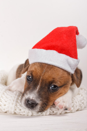 Cute Small Puppy Wearing Santa Hat and Lying on Soft Natural Wool Sweater over White Background. New Year Dog looking at camera Over Soft Cozy Holiday Background at Home. Sadness Depression on Holiday Stock Photo