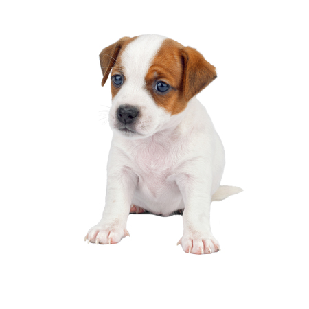 Little Cute Puppy Sitting Isolated on White Background Stock Photo