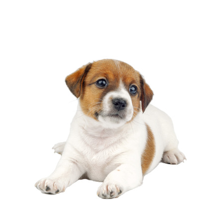 Cute Little Jack Russell Terrier Puppy Dog Isolated on White Background Imagens