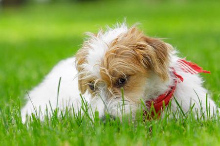 행복한 작은 잭 러셀 테리어 강아지 ?? 잔디 초원에 서서 카메라를 찾고