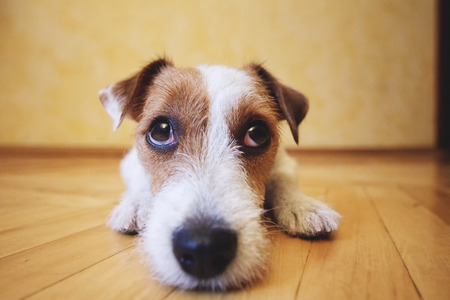 Sad dog lying on floor at home. Cute pet looking at camera