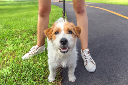 Breed Jack Russell Terrier Dog posing on camera with human woman legs outdoors