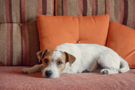 Dog lying on sofa at home and looking at camera
