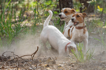 Three Jack Russell Terrier dogs playing outdoors