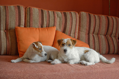 Two dogs are taking rest on sofa at home 版權商用圖片