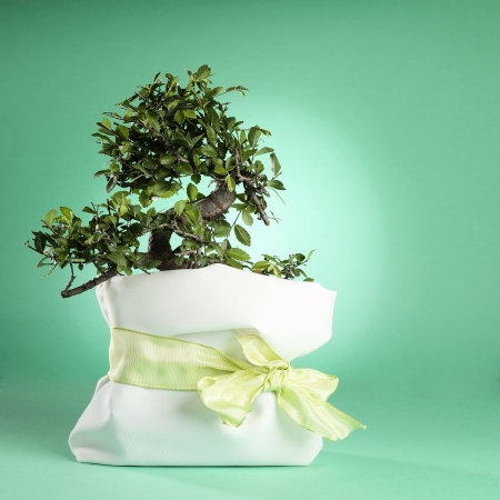 fancy sweet box: A small bonsai tree as fancy sweet-box  Isolated on a green background