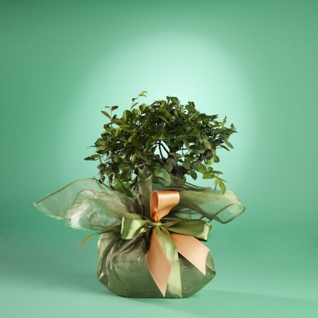 A small bonsai tree as fancy sweet-box  Isolated on a green background