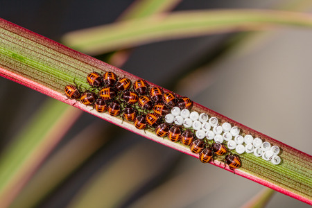Small eggs of bedbugs newly hatched Stock Photo