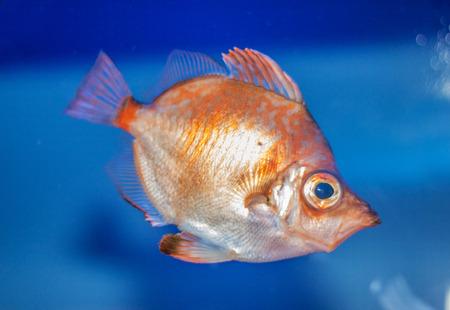 little aquarium of Genoa orange fish