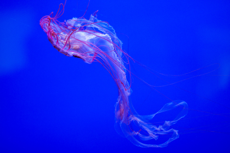The jellyfish is a tedious and fascinating animal. This photo was taken at the Genoa Aquarium in Italy, where these jellyfish are enclosed in a large glass tank equipped to observe them.