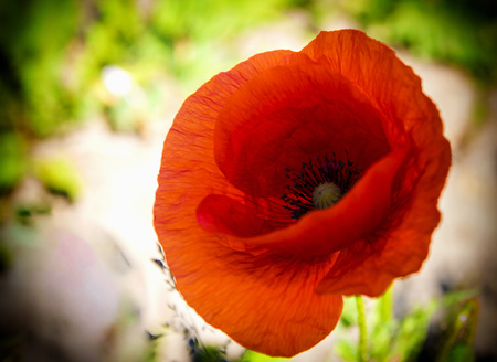Red poppy flowers, green natural background