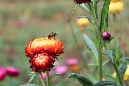 sucking: Bee sucking flowers Stock Photo