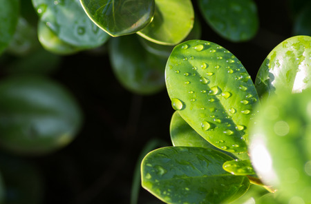 sunshines: Water droplets on leaves when the sun shines. Stock Photo