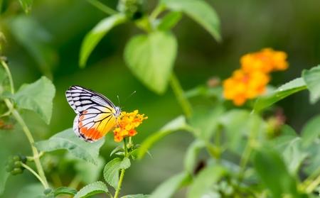 breed: butterfly breed in the field