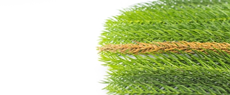 midst: texture of dry pine leaves in the midst of fresh pine leaves on white isolate background