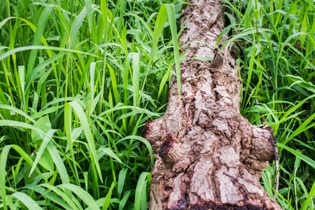 Timber log is cut on the grass green. cut tree is deforestation. Hydration and destruction.