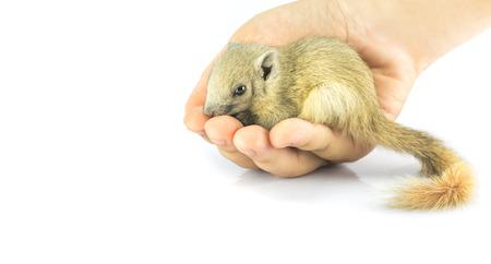 ardilla: el sueño de ardilla en la mano. ardillas bebé son animales domesticados. La ardilla cayó del árbol. ardilla es la vida silvestre. objeto sobre un fondo aislado.