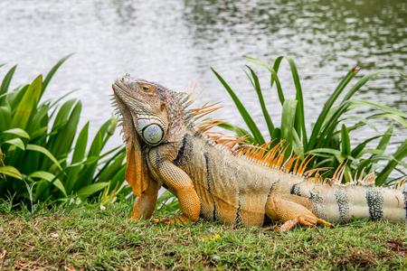 iguana crawls on the grass. Zdjęcie Seryjne