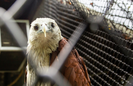 The Hawk (brahminy kite) in the zoos cage is tilted to the neck because of suspicion.