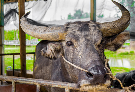 buffalo in Thailand, It likes to play clay.