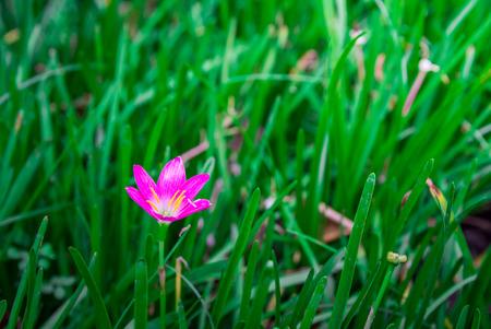 Pink flower fresh of grass in garden.