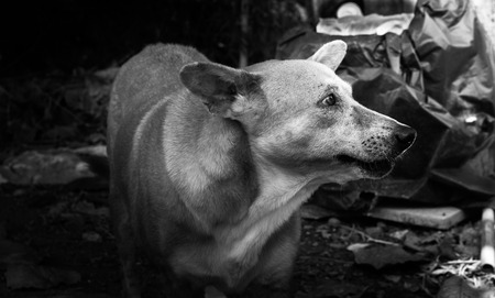 Dog mixed breed  homeless in thailand. Black&White picture.