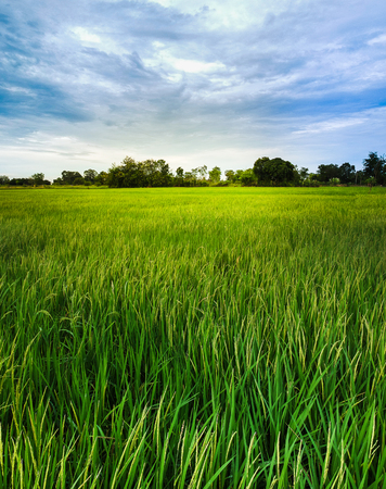 Rice field in Thailand for Background.