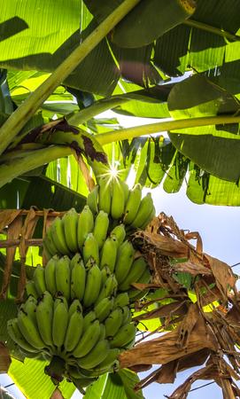 Banana Chain from Banana Tree.