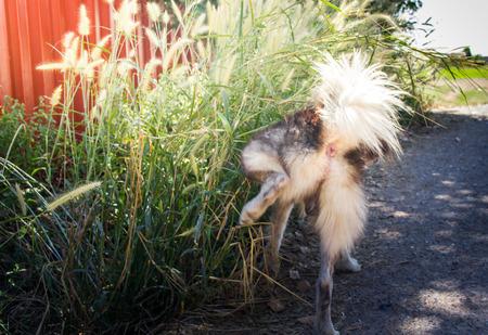 Siberian dog Urination