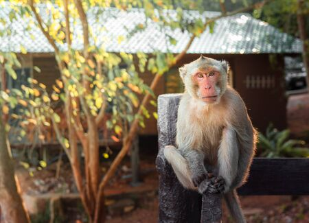 The monkey (Macaques) is sitting.