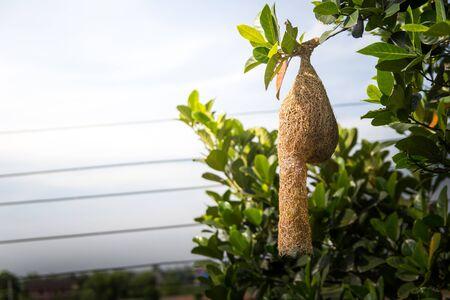 Nest of Ploceus. Weaver nest. 写真素材