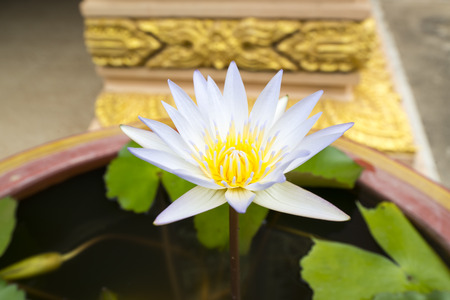 Water lily blooming over water and leaves photo