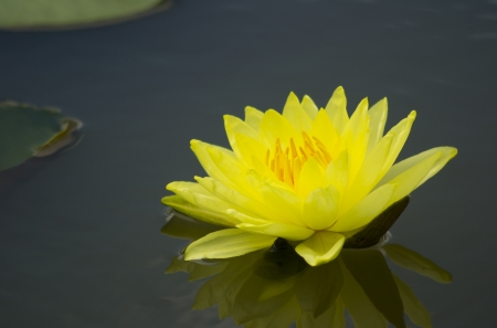 A Blooming Yellow Lotus Flower With Yellow Seed Head Stock Images
